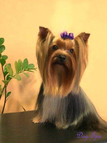 Šunų kirpykla Vilniuje DOG SPA kviečiame apsilankyti ir palepinti savo šuniuką.